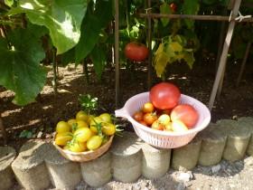~待ちに待った野菜たちの収穫でーす‼
