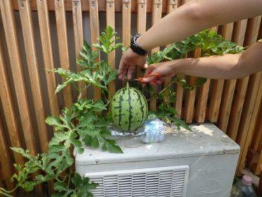 ‼家庭菜園で育った1個目のミニスイカいよいよ収穫‼で~す。