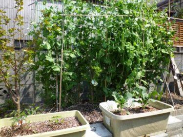 野菜苗育っています。えんどう豆も実が付いてきました‼