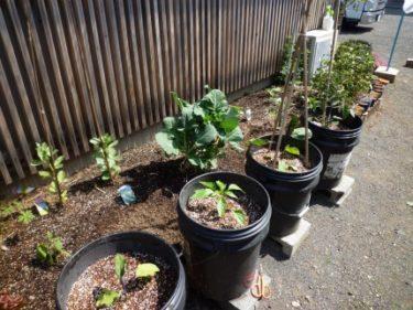 4月に植えた野菜達も順調に育ち実を付けて来ました(家庭菜園)