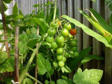ブドウと間違う菜園育ちのミニトマト達‼