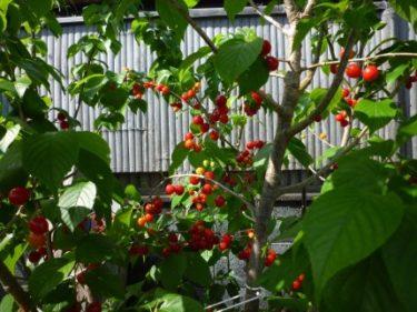 !庭に植えたサクランボの木、ビックリする程赤い実が?‼