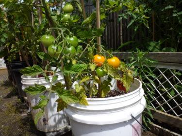 今年も我が家の庭のびわの木、沢山実を付けました。収穫です。😊‼