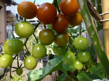 自粛中に植えた菜園の野菜が収穫出来ています。