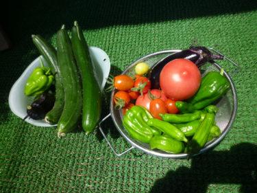 菜園で育った野菜達、今日収穫です。