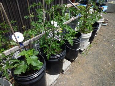 ☆大きくなった野菜達『家庭菜園』