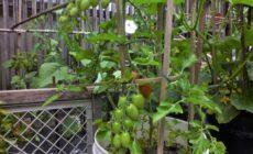 ☆家庭菜園、1か月経過です。色づき始めました。
